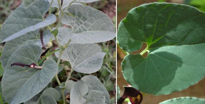 Photo of Medicinal Uses Of Aristolochia Bracteata / Aadu Theenda Palai / Aristolochia Bracteolata