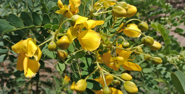 Photo of Cassia Auriculata Health Benefits